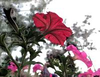 Red and pink petunias