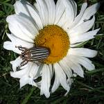 """Striped beetle on a daisy"" by eye4nature"