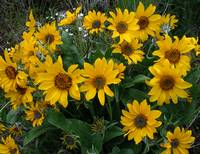 Arrowleaf balsamroot posteredges