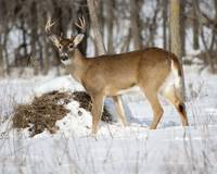 Winter Buck-3