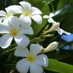 """""""Hawaii Flowers"""" by LHoov"""