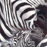 """Three Zebras"" by soltho"