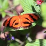 """""""Banded Orange Butterfly"""" by rdwittle"""
