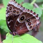 """""""Blue Morpho Butterfly"""" by rdwittle"""