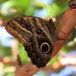 """""""Owl Butterfly"""" by rdwittle"""
