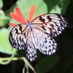 """""""Rice Paper Butterfly Idea Leuconoe"""" by rdwittle"""