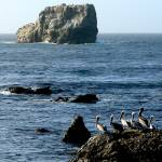 """Pelicans at San Simeon 6"" by coomBEZ"
