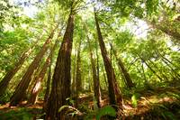Majestic Redwoods Horizontal