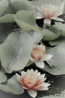 Water Lilies With Dragonfly