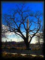Lincoln Tree Monument, Washington DC