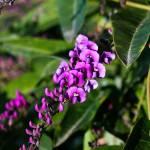 """Petite Purple Flowers on a Climbing Vine"" by MindsEyeImagery"