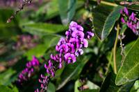 Petite Purple Flowers on a Climbing Vine
