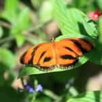 """""""Banded Orange Dryadula Phaetusa"""" by rdwittle"""