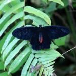 """""""Common Rose Swallowtail Pachliopta kotzebuea"""" by rdwittle"""