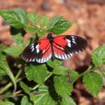 """Heliconius Melpomene Butterfly"" by rdwittle"
