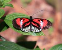 Piano Key - Heliconius Melpomene Butterfly