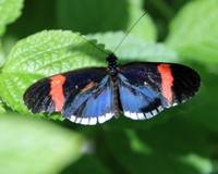 Heliconius Melpomene Cythera Butterfly