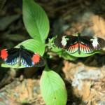"""Heliconius Melpomene Cythera and Piano Key Butterf"" by rdwittle"