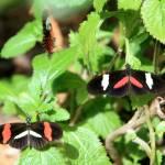 """""""Heliconius Melpomene Rosinia Butterflies"""" by rdwittle"""
