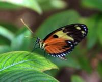 Heliconius Numata Butterfly