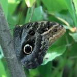 """""""Owl Butterfly Caligo atreus"""" by rdwittle"""