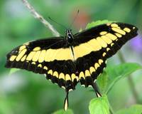 Papilio Thoas Butterfly