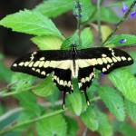 """""""Papilio Thoas Butterfly"""" by rdwittle"""