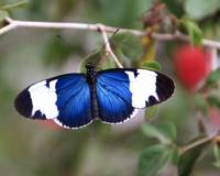 Sapho Butterfly - Heliconius Sapho