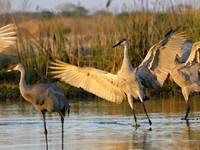 Sandhill Cranes Wings Lifted