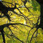 """""""Norway Maple"""" by 4ember"""