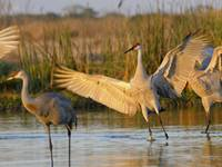 Sandhill Crane Lands with Wings Lifted