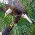 """Holding Bald Eagle"" by kphotos"