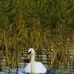 """Swan Lake"" by damokeen"