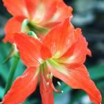"""""""Orange Lilium (Lily)"""" by ericignacio"""
