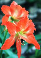 Orange Lilium (Lily)