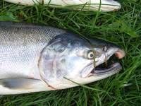 Coho in the grass
