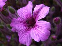 Irish purple flower