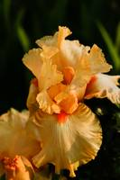 Beautiful Peach Colored Iris