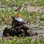 """""""Sunbathing Turtle"""" by MeMeBev"""