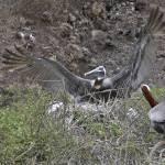 """""""Pelican spreading wings"""" by awsheffield"""