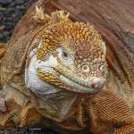 """Land Iguana"" by awsheffield"