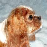 """Cavalier King Charles Spaniel"" by lindacarroll"