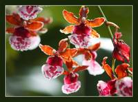 hot color orchids