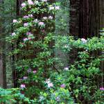 """Rhododendrons  In The Redwoods"" by pbk"