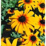 """Happy Sun Flowers"" by patty_colmer"