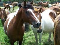 Wild Chincoteague Ponies