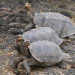"""Female tortoises"" by awsheffield"