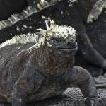 """Marine iguana"" by awsheffield"
