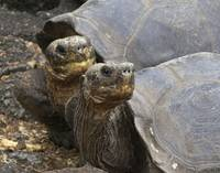 Tortoise faces