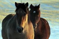 Buck and Blackie, photograph of two horses.